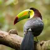 Портрет Кил-представленной счет птицы Toucan Стоковые Фото