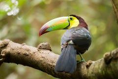 Портрет Кил-представленной счет птицы Toucan Стоковые Фотографии RF
