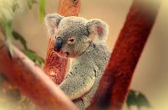 Портрет коалы Стоковое Фото