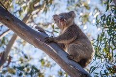 Портрет коалы сидя на ветви дерева Стоковые Фотографии RF