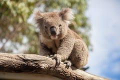 Портрет коалы сидя на ветви Стоковое Фото