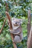 Портрет коалы сидя на ветви Стоковое Изображение