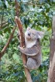Портрет коалы сидя на ветви Стоковое Изображение RF