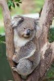 Портрет коалы сидя на ветви Стоковая Фотография RF