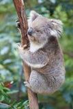Портрет коалы сидя на ветви Стоковые Фото