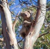 Портрет коалы сидя на дереве евкалипта Стоковая Фотография RF