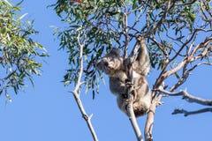 Портрет коалы сидя на тонкой ветви Стоковая Фотография