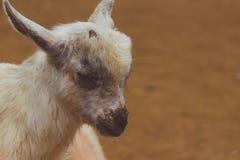 портрет козочки младенца Стоковая Фотография
