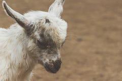 портрет козочки младенца Стоковое Фото