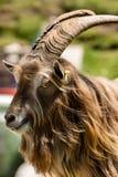 Портрет козы Билли - итальянка Альпы Стоковая Фотография