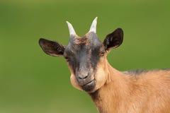 Портрет козы Брайна смотря камеру Стоковые Фото