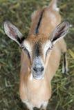 Портрет козы Брайна Стоковое Изображение RF