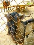 Портрет козы в зоопарке клетки Стоковые Изображения