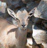 Портрет козы в зоопарке Стоковое Изображение RF