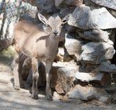 Портрет козы в зоопарке Стоковое Фото