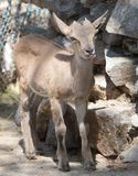Портрет козы в зоопарке Стоковые Фото