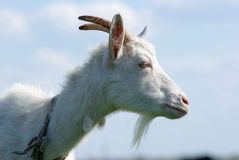 Портрет козы в профиле Стоковое Изображение