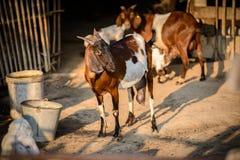 Портрет козы в ферме Стоковое фото RF