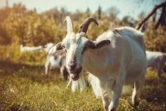 Портрет козы есть траву в стаде Стоковые Изображения