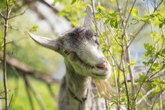 Портрет козы есть траву на зеленом луге Стоковое Фото