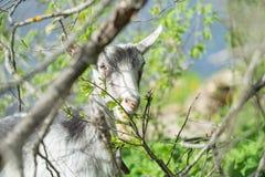 Портрет козы есть траву на зеленом луге Стоковая Фотография