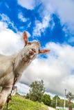 Портрет козы есть траву на зеленом луге Стоковые Фотографии RF