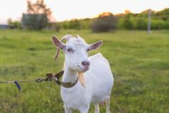 Портрет козы есть траву на луге Стоковая Фотография RF