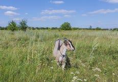 Портрет козы есть траву на луге Стоковые Фото