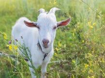 Портрет козы есть траву на луге Стоковое Изображение RF