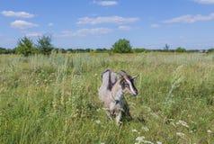 Портрет козы есть траву на луге Стоковая Фотография