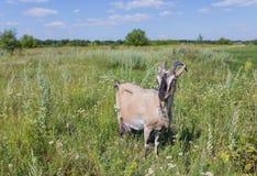Портрет козы есть траву на луге Стоковые Изображения