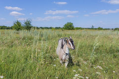 Портрет козы есть траву на луге Стоковые Фотографии RF