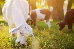 Портрет козы есть траву Стоковая Фотография RF