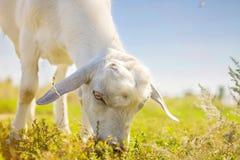 Портрет козы есть траву Стоковое Изображение