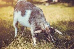 Портрет козы есть траву Стоковые Фотографии RF