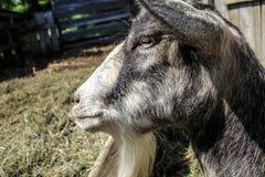 Портрет козы - жизнь фермы Стоковое Изображение RF