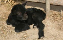 Портрет козы карлика младенца Стоковое Изображение