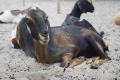 Портрет козы кладя на земное поле, селективный фокус Стоковые Изображения RF