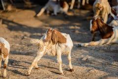 Портрет козы младенца в стойле Стоковые Фото