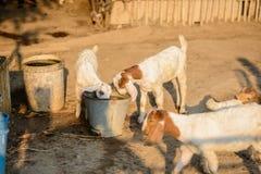 Портрет козы младенца в стойле Стоковое Изображение RF