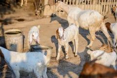 Портрет козы младенца в стойле Стоковое Изображение