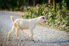 Портрет козы младенца на дороге Стоковые Изображения RF