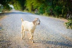 Портрет козы младенца на дороге Стоковое фото RF