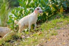 Портрет козы младенца на дороге Стоковые Фото