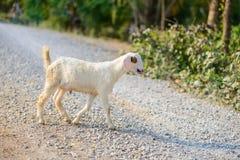Портрет козы младенца на дороге Стоковое Изображение RF