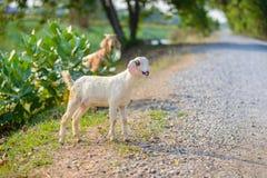 Портрет козы младенца на дороге Стоковая Фотография RF