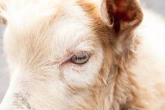 Портрет козы младенца Стоковое Изображение