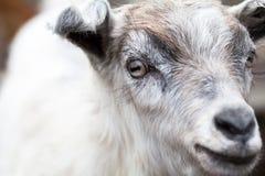 Портрет козы младенца Стоковое фото RF