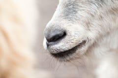 Портрет козы младенца Стоковые Фотографии RF