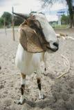Портрет козы на земном поле, селективного фокуса, фильтрованного изображения Стоковая Фотография RF